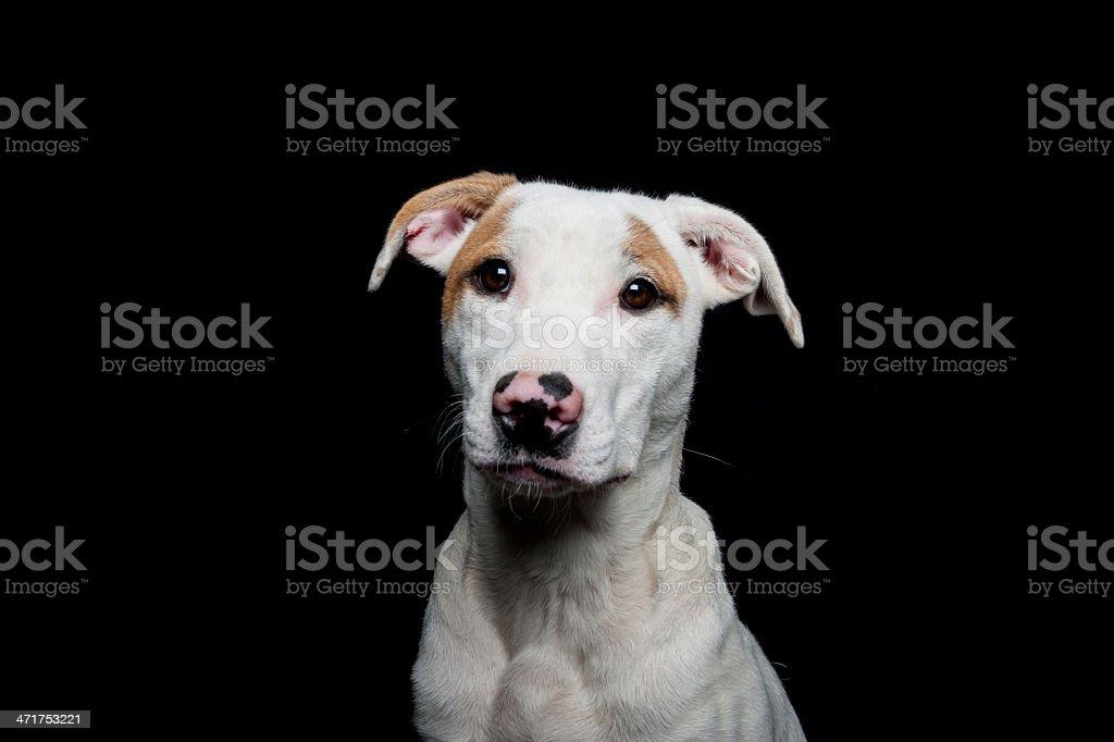American Staffordshire Terrier Pit Bull sad dog portrait royalty-free stock photo