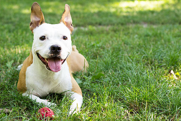 American Staffordshire Terrier playing in the park Cute American Staffordshire Terrier playing with a ball animal saliva stock pictures, royalty-free photos & images