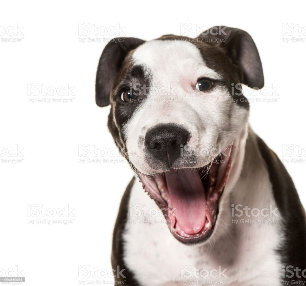 American Staffordshire Terrier puppy, 3 months old, against white background stock photo