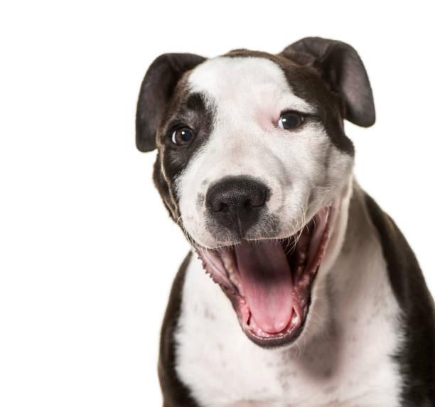 amerikanischer staffordshire-terrier welpen, 3 monate alt, vor weißem hintergrund - pitbull welpen stock-fotos und bilder
