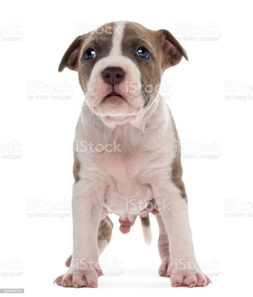 American Staffordshire Terrier Puppy, 6 weeks old, against white background stock photo