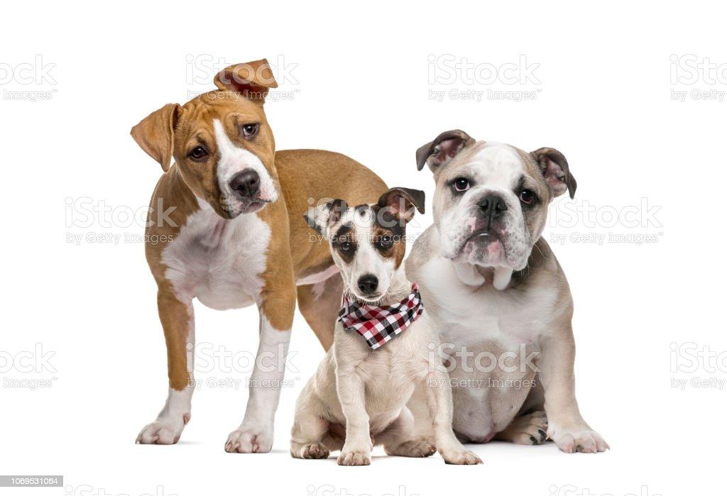 American Staffordshire Terrier Puppy English Bulldog Puppy