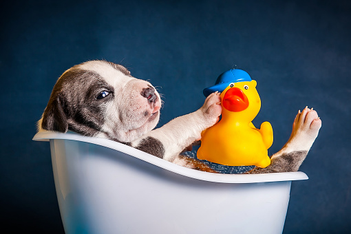 istock American Staffordshire Terrier puppy in the bathroom with duck 940091590