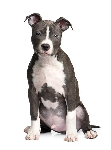 American staffordshire terrier puppy picture id117541107?b=1&k=6&m=117541107&s=612x612&w=0&h=vqtupsb afko3vs8ib6zeoymlpepjktylf9e9ifie5o=