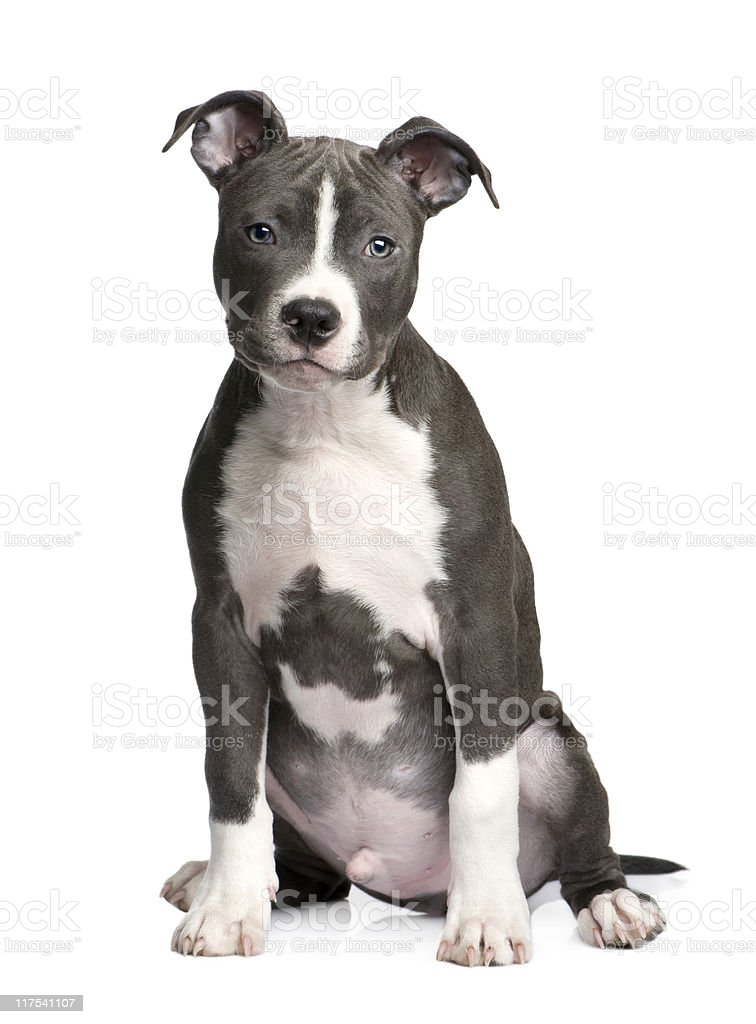 American Staffordshire Terrier Puppy (3 months) stock photo