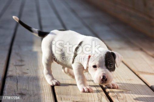 🔥 Stunning Canine Portrait Blue American Staffordshire