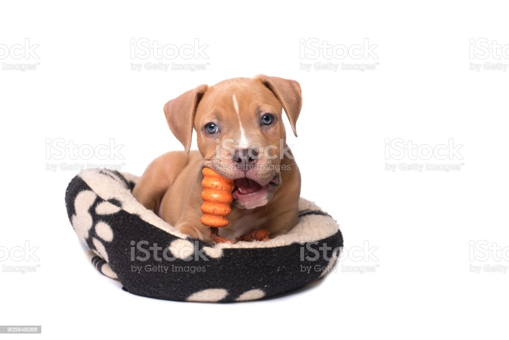 American staffordshire terrier puppy play on his pillow stock photo