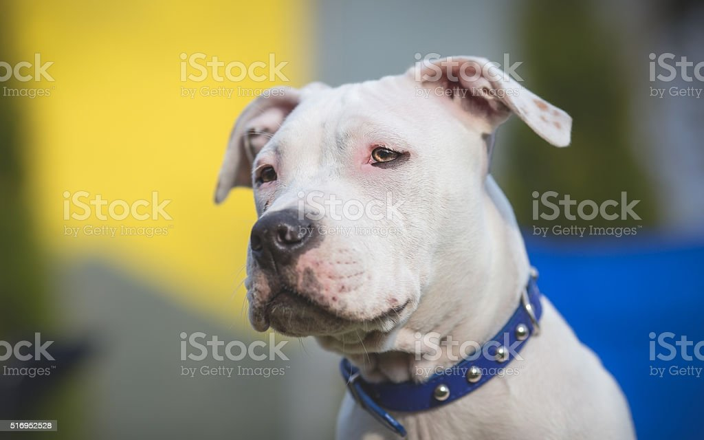 American Staffordshire Terrier Puppy portrait stock photo