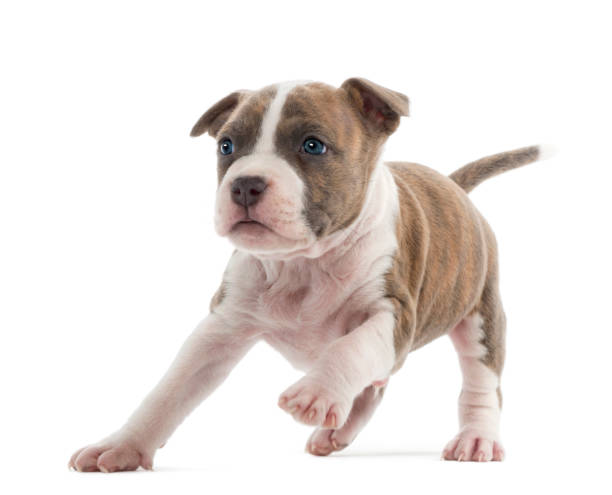 amerikanischer staffordshire-terrier welpen laufen, 6 wochen alt, vor weißem hintergrund - pitbull welpen stock-fotos und bilder