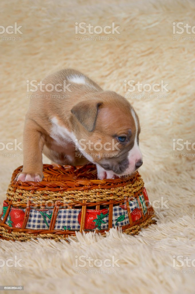 American Staffordshire terrier puppy standing on a basket royalty-free stock photo