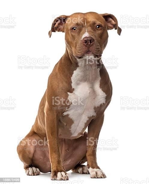 American staffordshire terrier sitting and looking at camera picture id158875499?b=1&k=6&m=158875499&s=612x612&h=k xnccv9o6ubdi efywaodj1i9p2 y20fehlssnj dk=