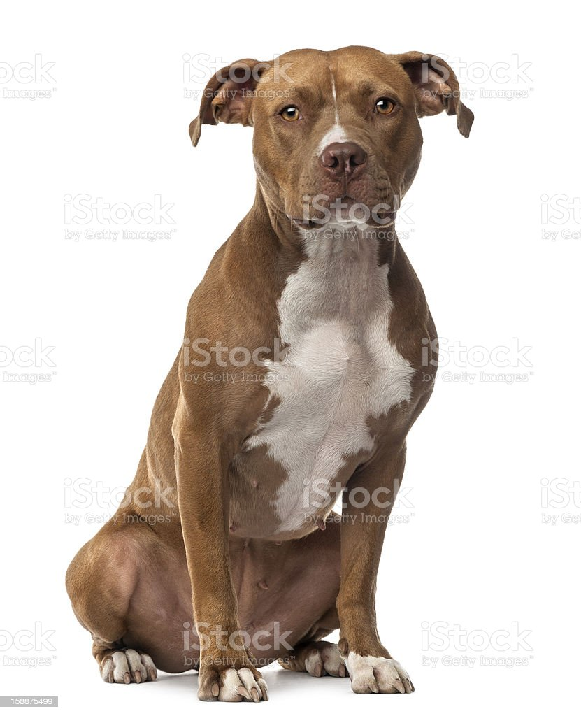 American Staffordshire Terrier sitting and looking at camera stock photo