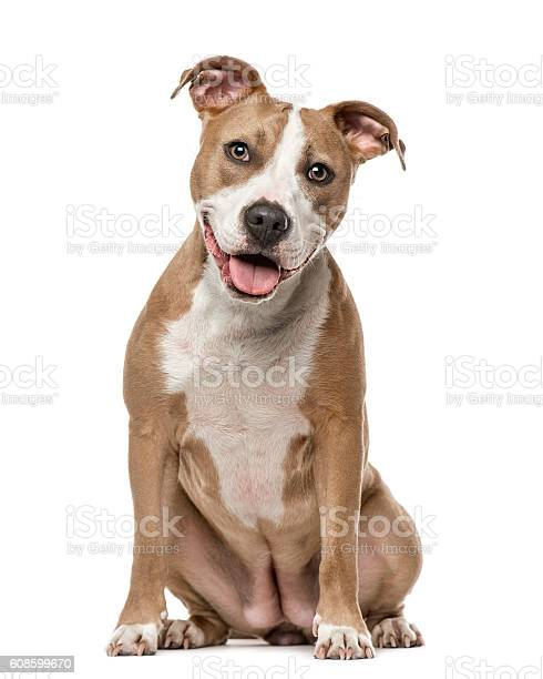 American staffordshire terrier sitting isolated on white picture id608599670?b=1&k=6&m=608599670&s=612x612&h=fmq js 2ljhldyxvbfidih2syjwdap4nfyqyyobsosg=