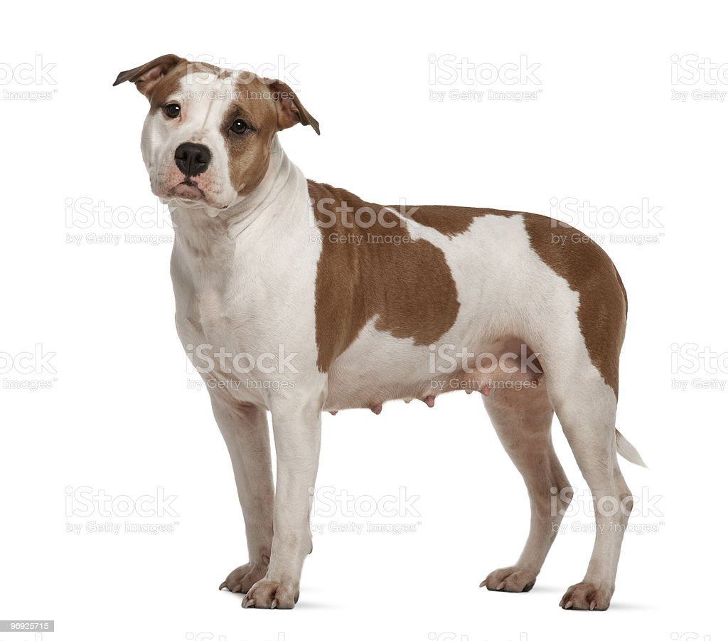 American Staffordshire Terrier, standing and looking at the camera stock photo