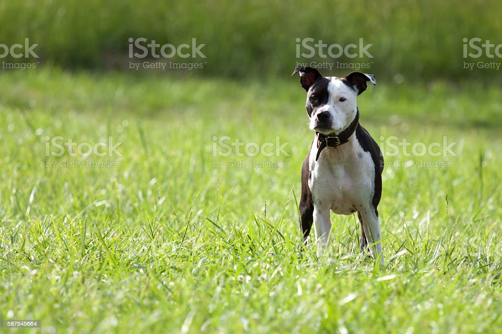 American Staffordshire Terrier standing on a meadow stock photo