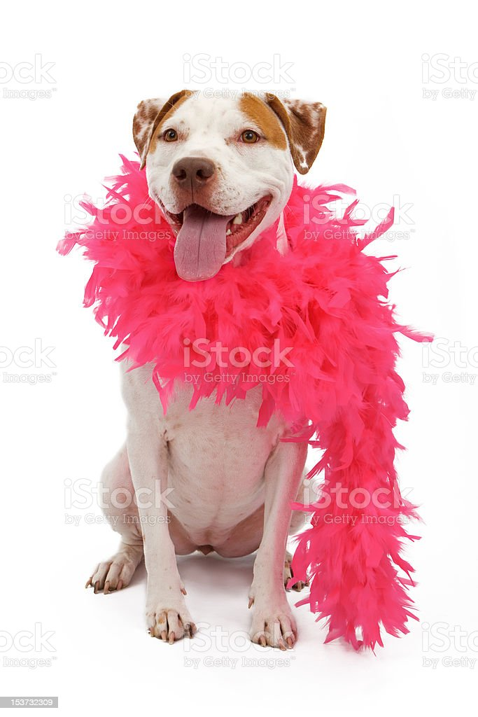 American Staffordshire Terrier wearing a pink boa stock photo