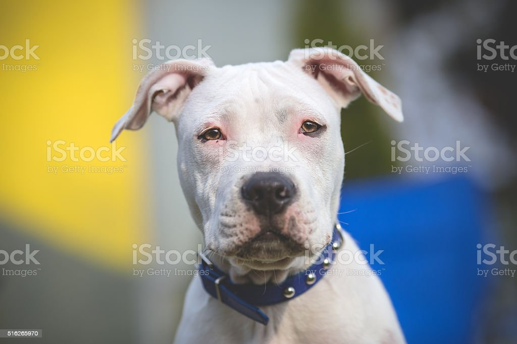 American Staffordshire Terrier young dog portrait stock photo