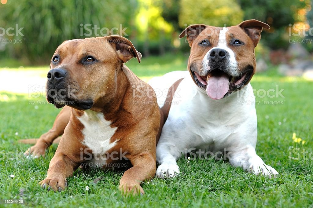 American Staffordshire terriers stock photo