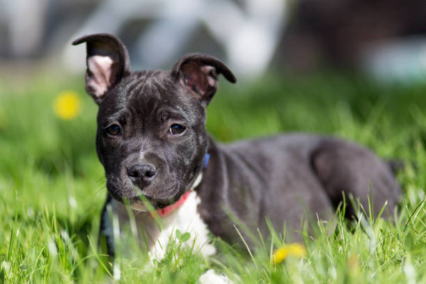 American Sttafordshire terrier stock photo