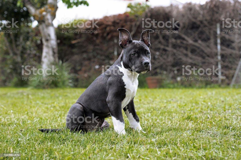 Amerikanische Sttafordshire terrier – Foto