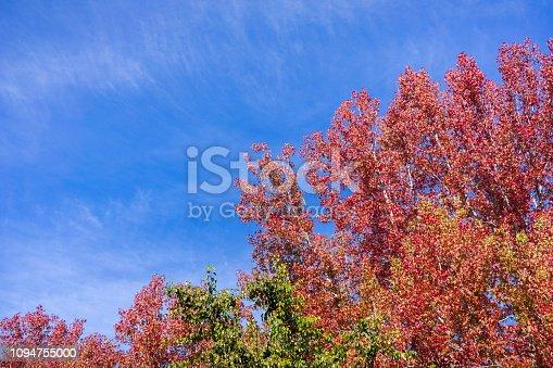 American sweetgum (Liquidambar styraciflua) autumn colored trees on a blue sky background; fall concept