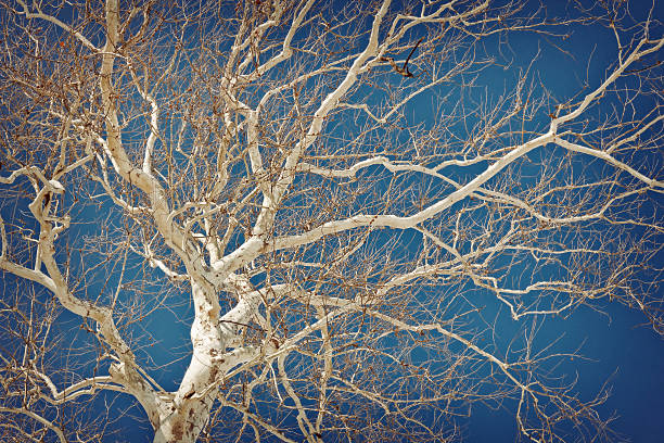 American Sycamore Amazing American sycamore tree against a blue sky in this winter nature shot sycamore tree stock pictures, royalty-free photos & images