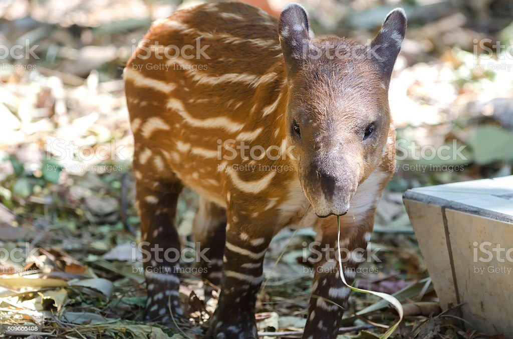 american tapir stock photo