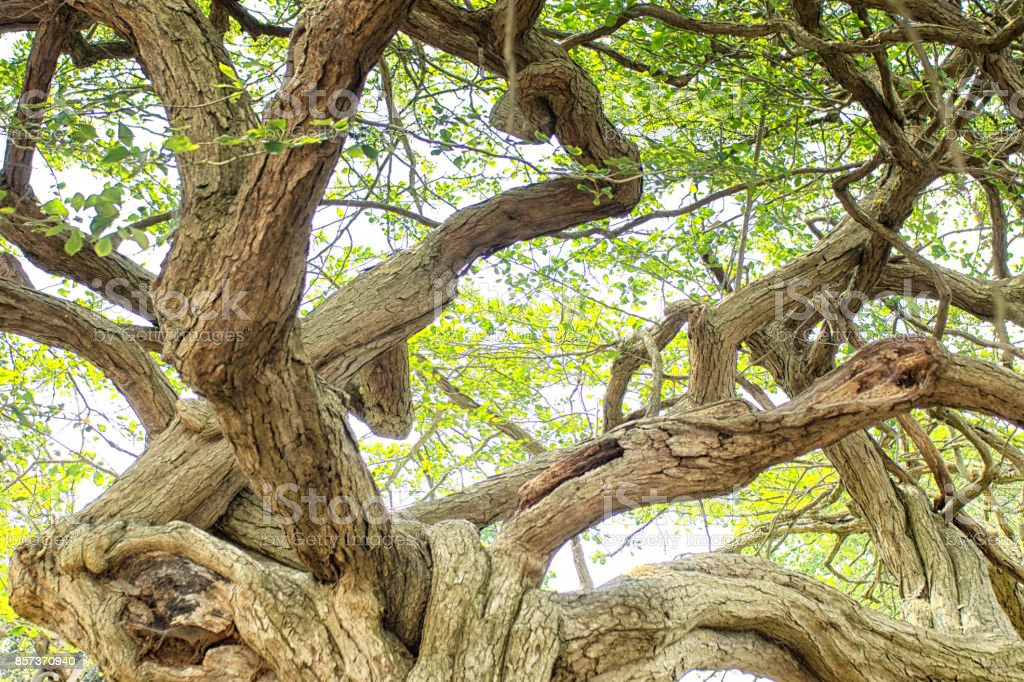 American Thorn tree stock photo