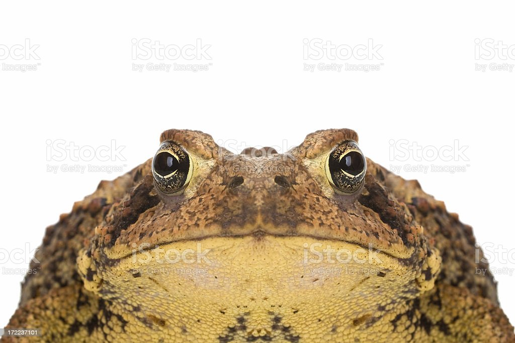 American Toad, Bufo americanus stock photo