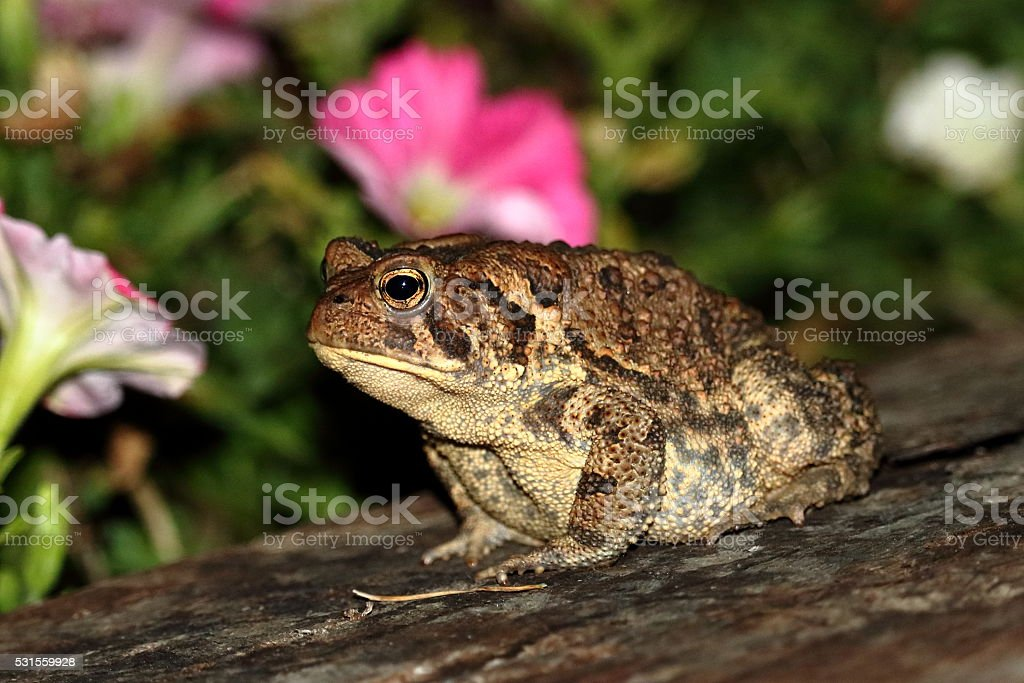 American Toad in the Flowerbed stock photo