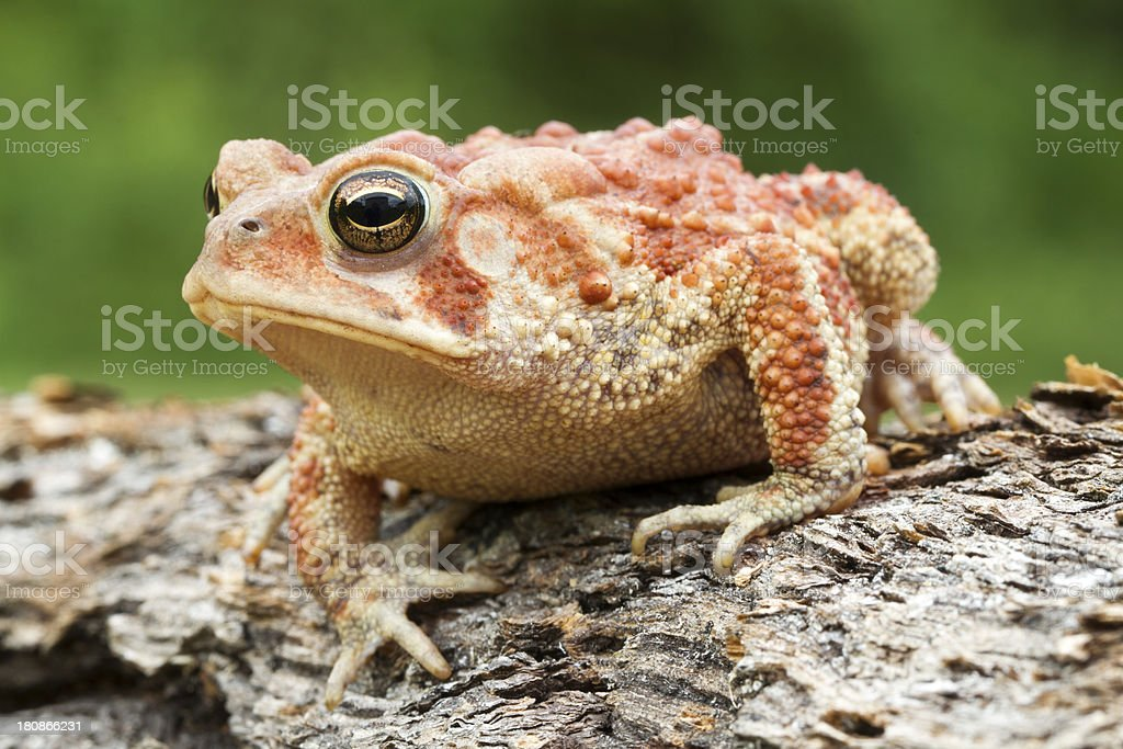 American Toad with High Red color stock photo