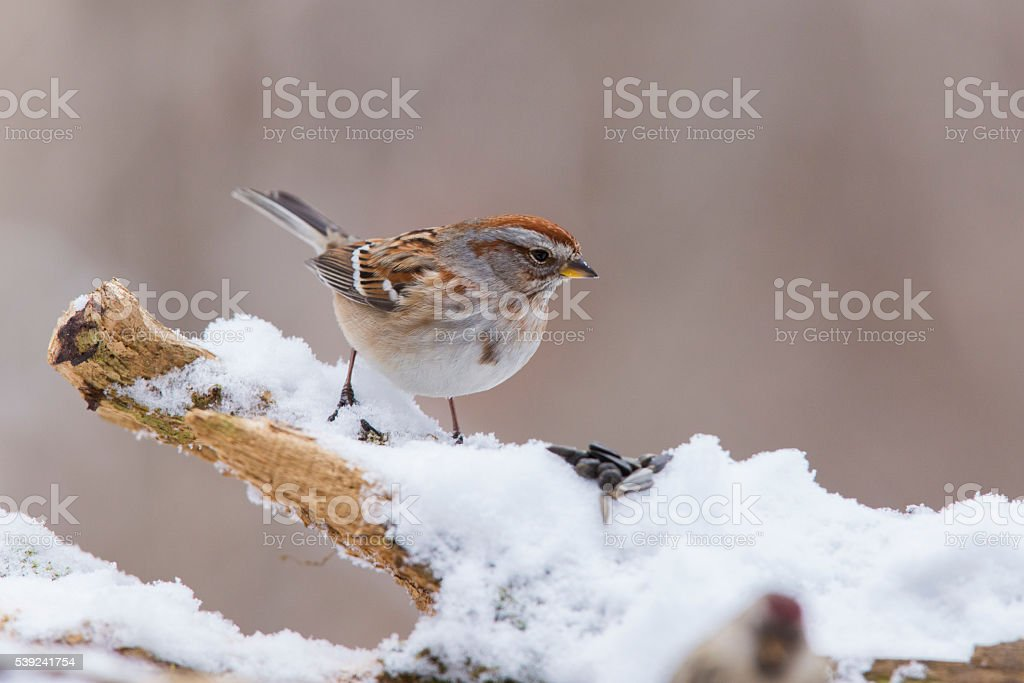 American tree sparrow in winter royalty-free stock photo