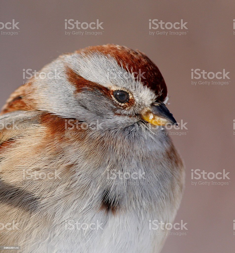 American Tree Sparrow royalty-free stock photo
