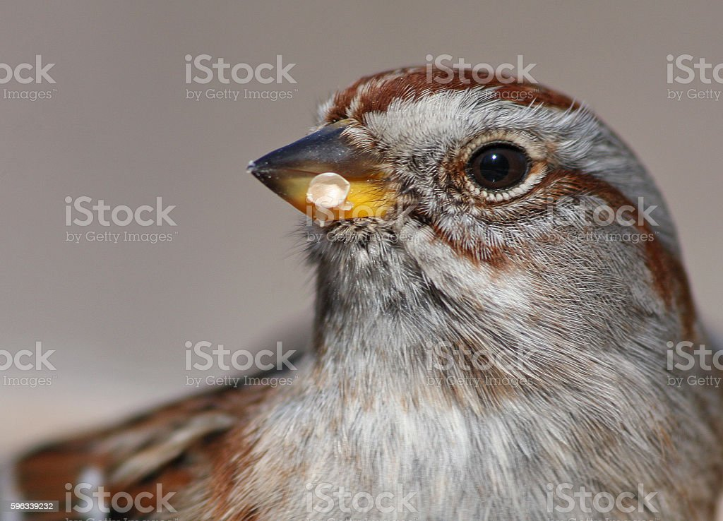 American Baum Sparrow  Lizenzfreies stock-foto