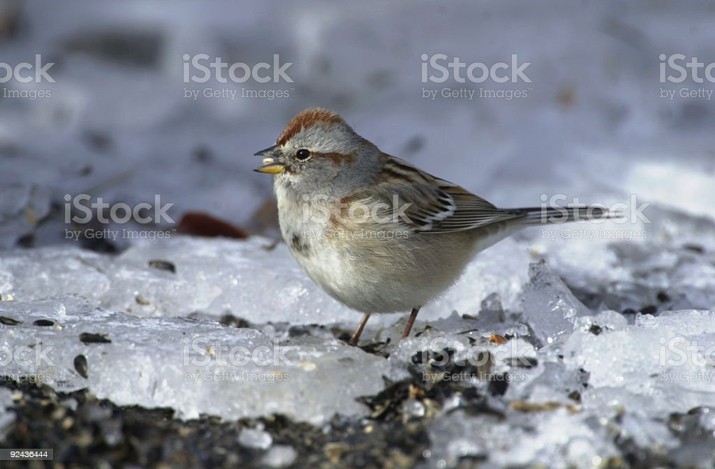 American Tree Sparrow royalty-free stock photo