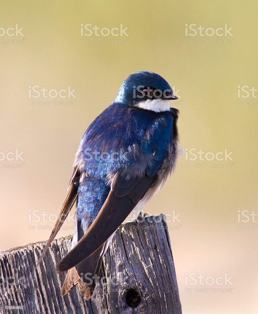 American Tree Swallow royalty-free stock photo