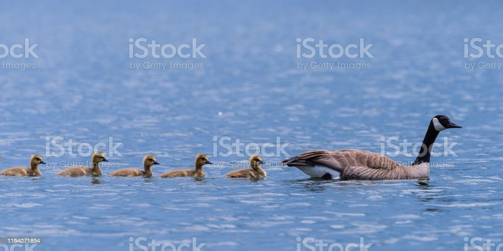 Adult Canada Goose and Goslings Swimming in a Calm Blue Water Lake