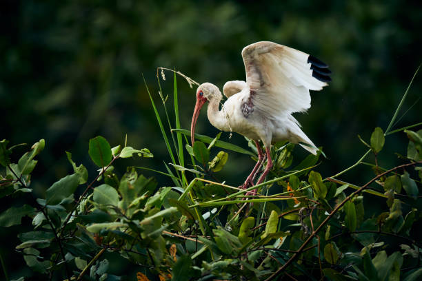 American white ibis (Eudocimus albus) landing on a tree. Wildlife scene from nature. Birdwatching in Costa Rica stock photo
