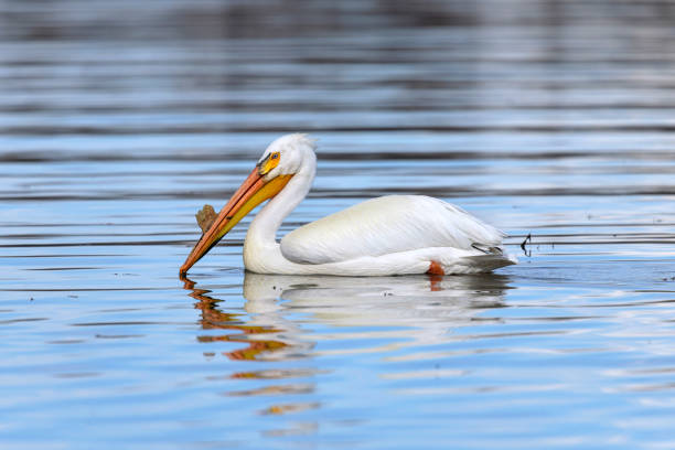 American White Pelican - An American White Pelican, in breeding condition, enjoying calm water at Chatfield Reservoir on a sunny Spring evening. Denver-Littleton, Colorado, USA. stock photo