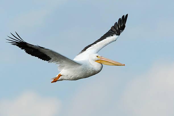 american white pelican (pelecanus erythrorhynchos) flying, bolivar peninsula, texas, usa - пеликан стоковые фото и изображения