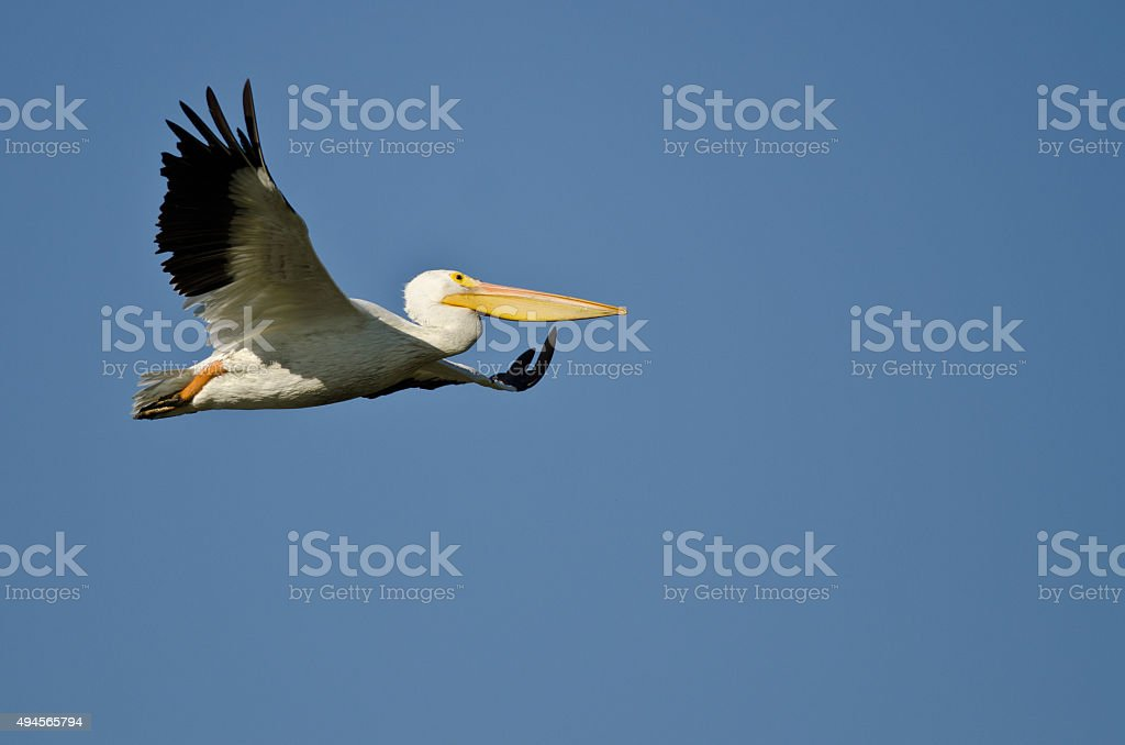 American White Pelican Flying in a Blue Sky American White Pelican Flying in a Blue Sky 2015 Stock Photo
