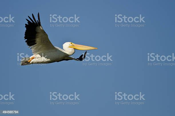 American White Pelican Flying In A Blue Sky Stock Photo - Download Image Now