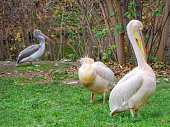 American White Pelican is a bird of the pelican family. This pelican is called the \