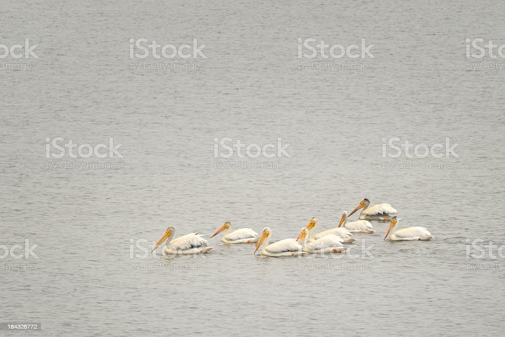 American White Pelican, Pelecanus erythrorhynchos, In North Dakota royalty-free stock photo