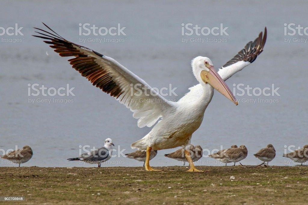 American White Pelican, Seagull, Sandpipers stock photo
