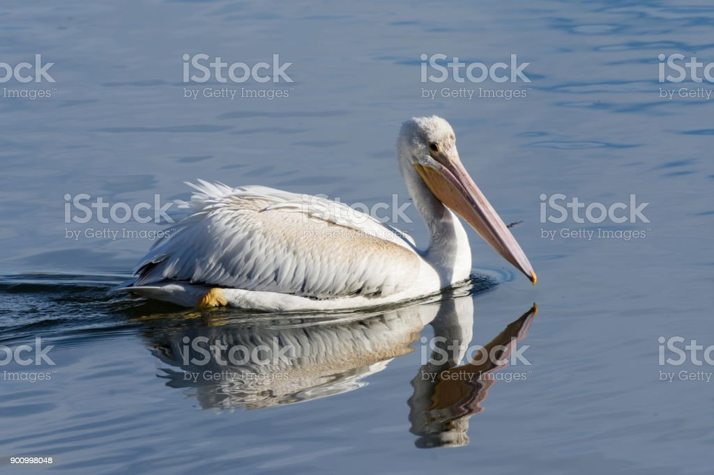 American White Pelican swimming in a clear blue lake. stock photo