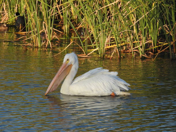 American white pelican, the shoreline reflected in the background stock photo