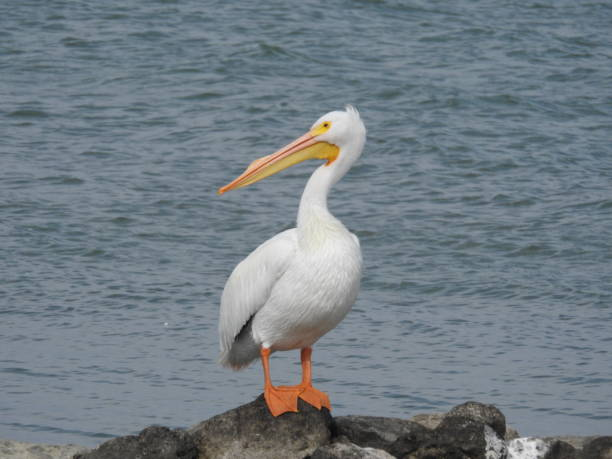 American white pelican with ocean backdrop stock photo