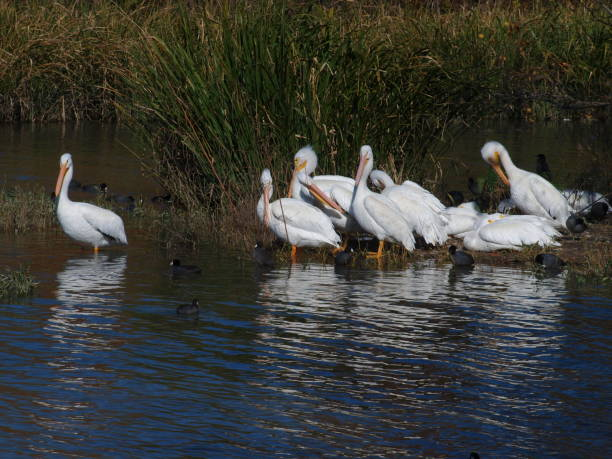 American White Pelicans and American Coots stock photo