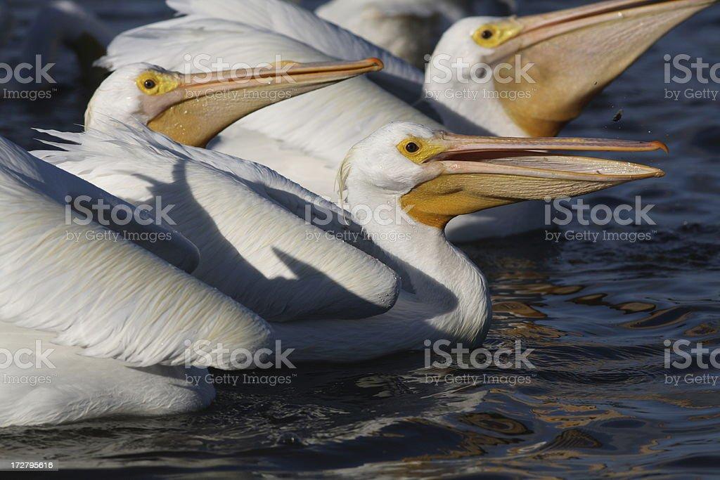 American White Pelicans (Pelecanus erythrorhynchos) Feeding royalty-free stock photo